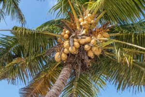 The Coconut Part I: The nut that's not a nut